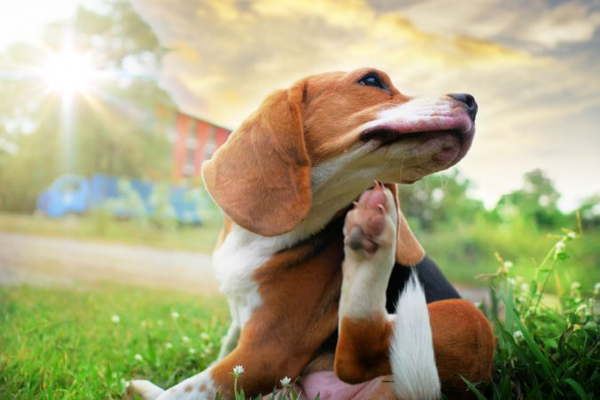 vlooienband honden